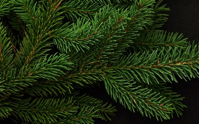 green spruce branch, spruce on a black background, background with spruce, green branch