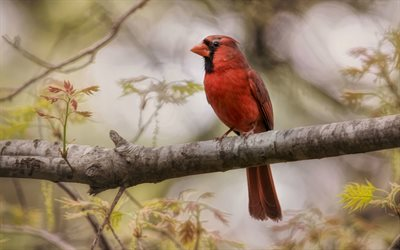 Northern Cardinal, 4k, wildlife, bokeh, red bird, Cardinalis cardinalis