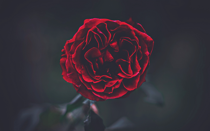 4k, red rose, darkness, close-up, red bud, bokeh, roses, red flower