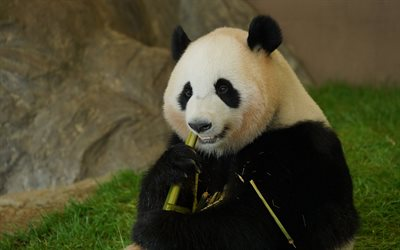 panda eating bamboo, wildlife, pandas, bears, cute animals, panda