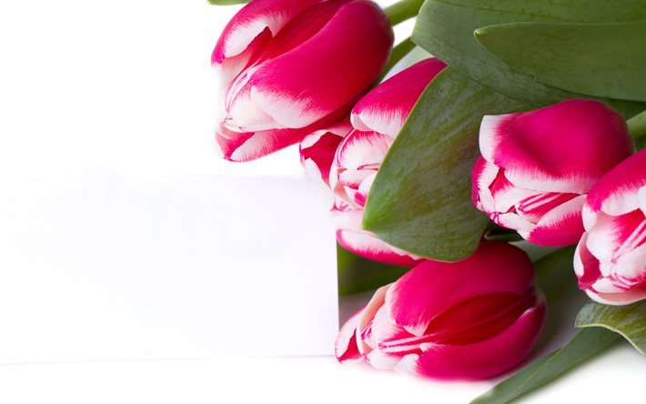 pink tulips, 5K, bouquet, white backround, tulips