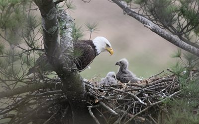 Bald Eagle, Nordamerika, boet, chick, rovfåglarna, vilda djur, USA, eagles