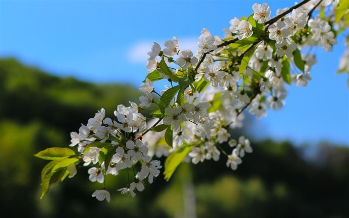 spring flowers, flowering apple tree, spring, blue sky, apple-tree branch