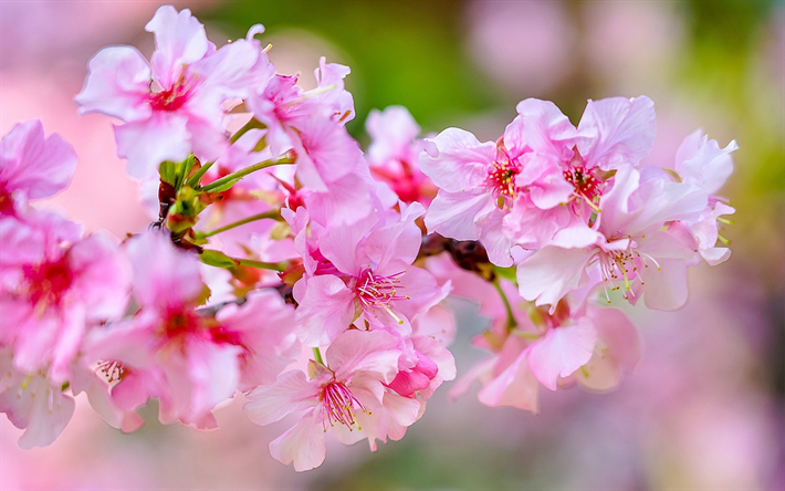 Download wallpapers cherry blossom spring pink flowers 4k spring cherry blossom spring pink flowers 4k spring flowers sakura garden mightylinksfo
