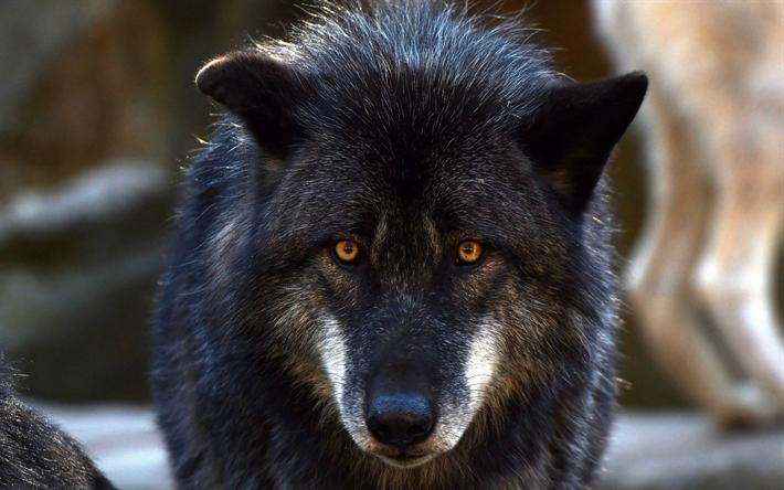 Download Wallpapers Black Wolf Predator Wildlife Forest
