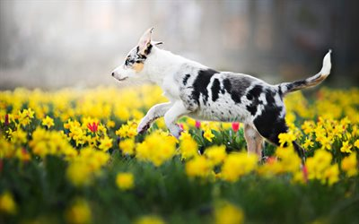 Australian Shepherd puppy, yellow flowers field, Aussie, bokeh, pets, summer, dogs, Australian Shepherd, cute animals, Australian Shepherd Dog, Aussie Dogs