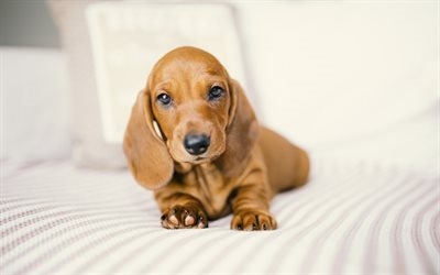 Dachshund, puppy, cute animals, small dog