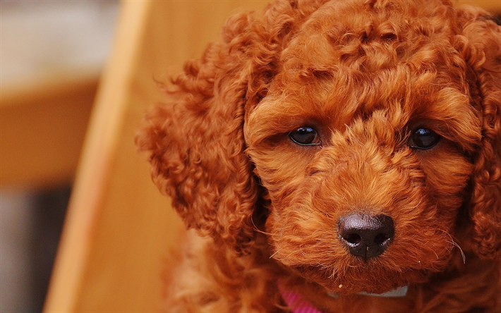 Download Wallpapers 4k Goldendoodle Puppy Cute Dogs