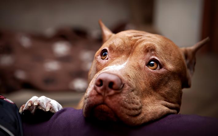 Resultado de imagen para 犬 pitbull 悲しい