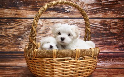 Puppies, Maltese Dog Breed, Small dogs, white puppies, cute animals, dogs