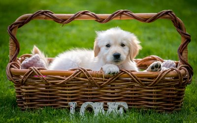 Retriever, puppy, small dog, cute animals, dog in the basket, green grass