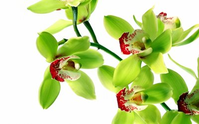 green orchids, tropical flowers, orchids branch, green flowers, orchid