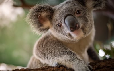 koala, cute animals, wildlife, little koala, wild animals