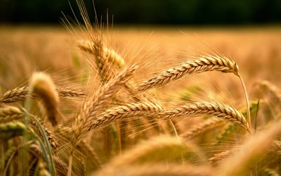 wheat ears, harvest, wheat, wheat field, ears, background with wheat
