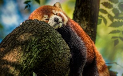 sleeping red panda, wildlife, bears, cute bear, pandas, Ailurus fulgens, Red Panda