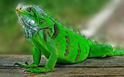 iguana, green lizard, green iguana, wildlife, lizards