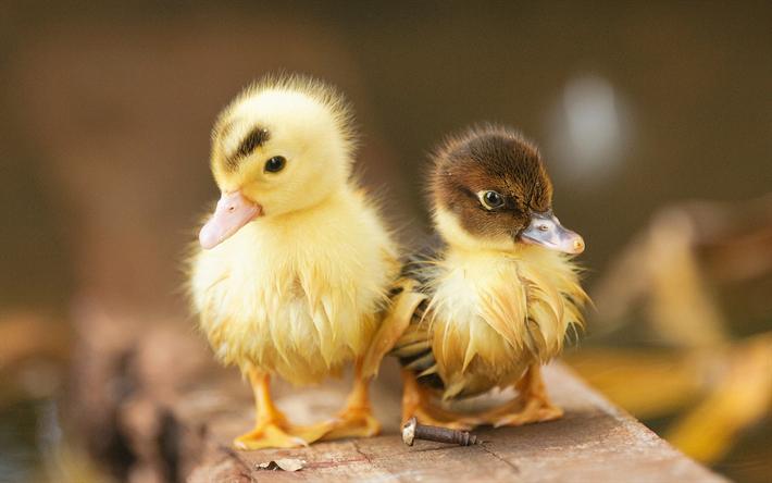 Download Wallpapers Little Ducks, Birds, Ducklings, Cute