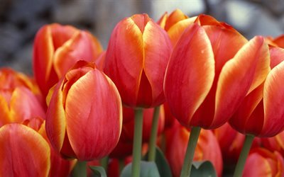 red tulips, bouquet, 5K, close-up, tulips