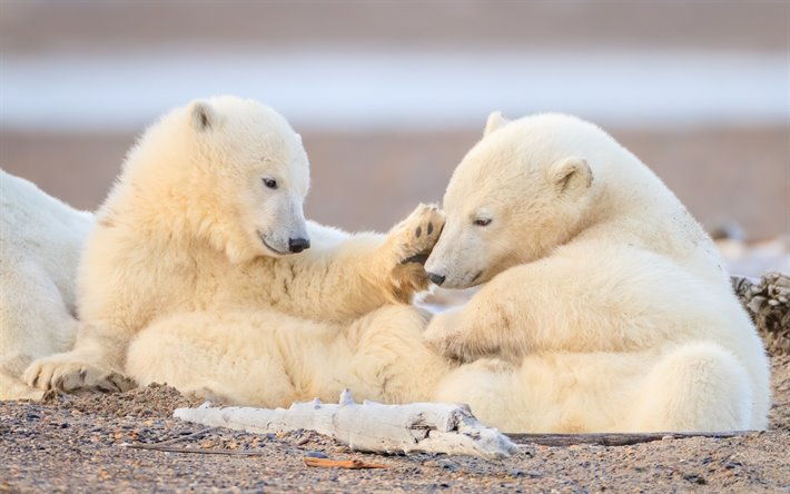 polar bears, cute animals, teddy bears, North Pole, wild animals, wildlife, bears