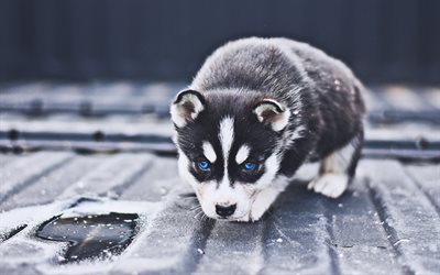 Siberian Husky, puppies, cute animals, pets, dogs, small siberian husky