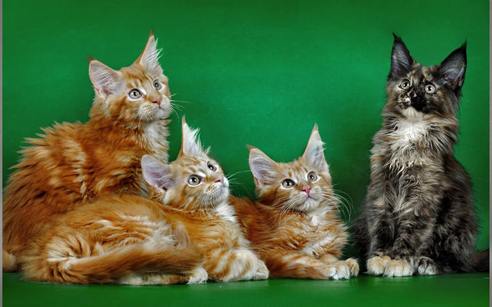 Scarica Sfondi Maine Coon Gatti Domestici Quartetto Rosso Gatto