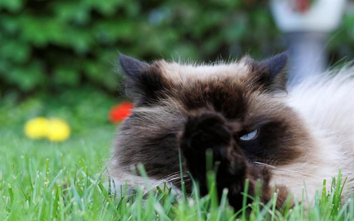 Scarica sfondi gatto birmano verde erba animali razze for Erba per gatti