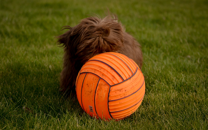 Bobtail, brown puppy, ball, breeds of long-haired dogs, cute animals, small dog