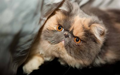 persian cat, muzzle, cute animals, kitten, cats