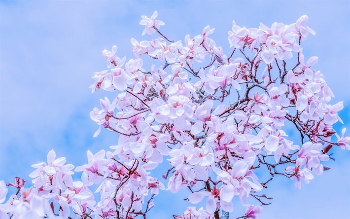 magnolia, pink spring flowers, magnolia branches, spring, spring flowering