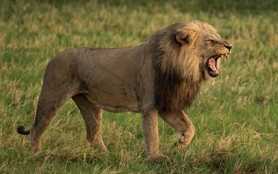 lion, predator, dangerous animals, wildlife, young lion, green grass, lions
