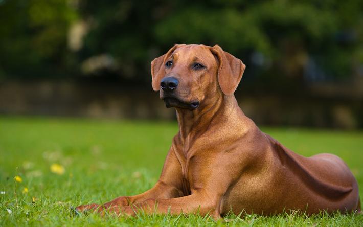 Fantastic Rhodesian Ridgeback Brown Adorable Dog - thumb2-rhodesian-ridgebacks-4k-brown-dog-pets-lawn  Best Photo Reference_283488  .jpg
