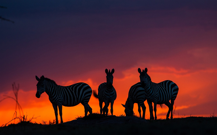seepra, sunset, illalla, wildlife, Afrikka