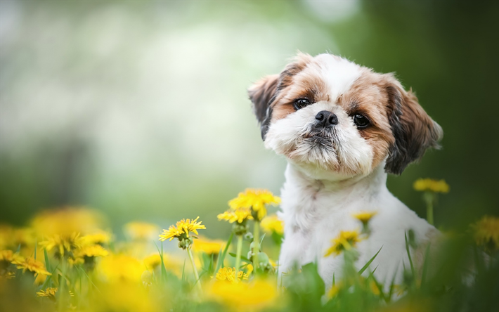 Best Shih Tzu Anime Adorable Dog - thumb2-shih-tzu-little-cute-dog-curly-puppy-cute-animals-pets  HD_336733  .jpg