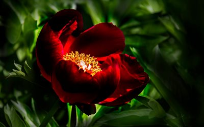 red peony, macro, bokeh, burgundy flower, beautiful flowers, burgundy peony, peonies, Paeonia