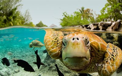 Green turtle, ocean, Bora Bora, French Polynesia, tropical islands, palm trees