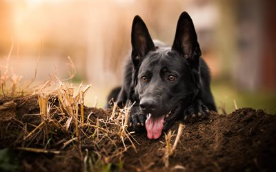 black german shepherd, muzzle, blur, dogs