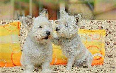 Puppies, West Highland White Terrier, dogs, pets, cute animals