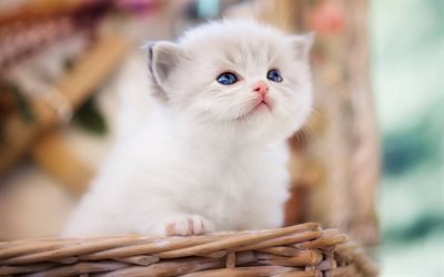 Ragdoll, kittens, blue eyes, cute animals, cats