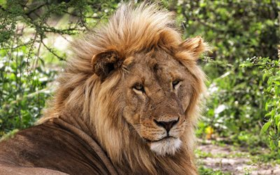 big lion, Africa, summer, wildlife, predator, dangerous African animals, lions
