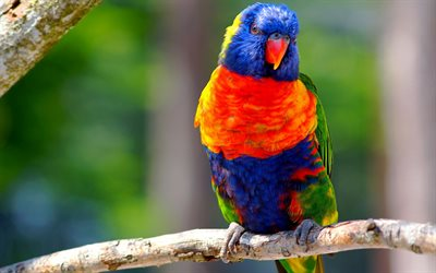 Rainbow Lorikeet, branch, colorful birds, parrot, Trichoglossus moluccanus