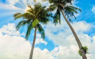 high palms, view from below, large green palm leaves, tropical island, coconuts on palms, blue sky, summer