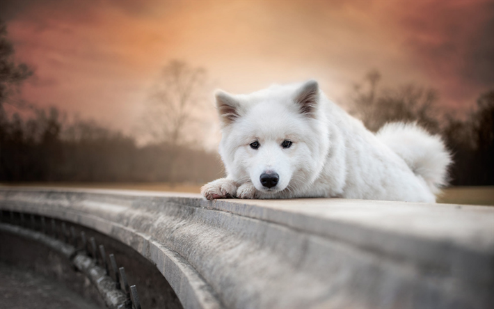 Download Wallpapers Samoyed White Small Puppy Sunset Evening White Dog Pets Cute Animals Dogs For Desktop Free Pictures For Desktop Free