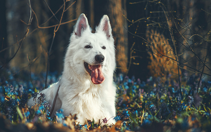 White Swiss Shepherd, Berger Blanc Suisse, autumn, forest, white dog, sunset, evening, blue wildflowers, dogs