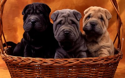 shar pei, black puppy, small dogs, gray puppy, pets, brown puppy, dogs, cute animals, puppies in the basket