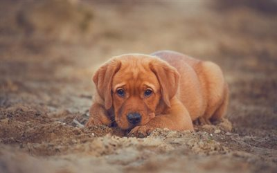 Labrador Retriever, small brown puppy, sand, beach, cute little dogs, pets, puppies, dogs