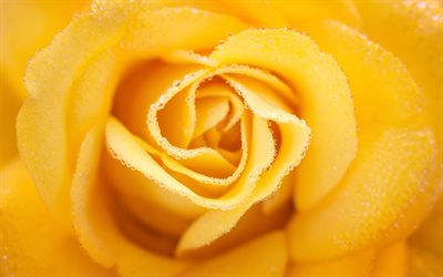 yellow rose bud, water droplets on a rose, yellow rose, beautiful yellow flower, roses