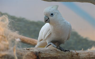 Little corella, white cockatoo, 4k, Australia, bare-eyed cockatoo, Cacatua sanguinea