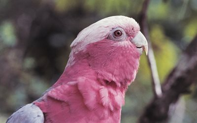 Galah, Eolophus roseicapilla, pink cockatoo, beautiful bird, 4k, Australia