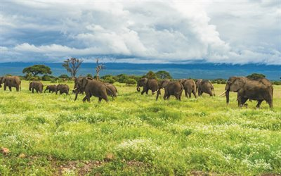 elephants, wildlife, herd of elephants, savannah, wild animals, Africa