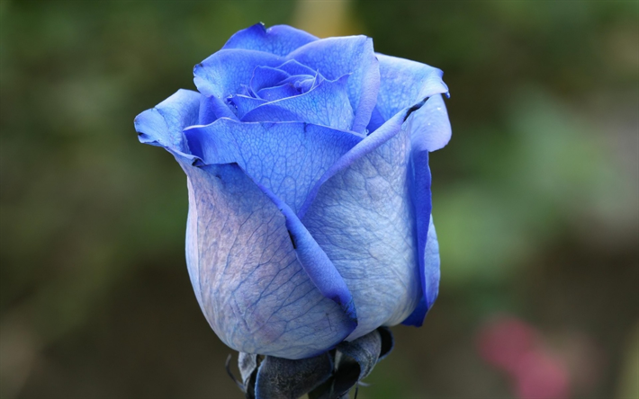 blue rose, blue rose bud, blue flower, unusual flowers